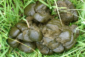 Something we can learn about smell from animals: steaming horse dung smells better than dry dung. (Photo: Planetequus.com)